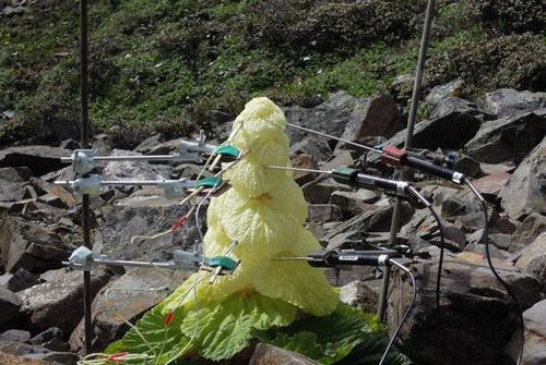 """去川藏线碰到""""大白菜"""", 千万不要摘, 游客: 摘了就回不来了!"""